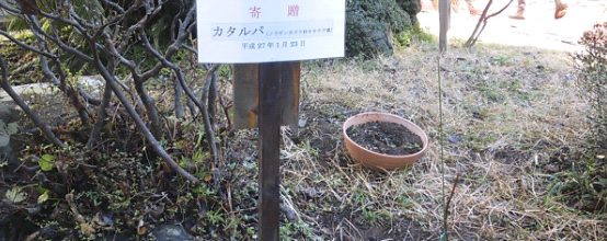 2015年 1月23日 徳富蘇峰記念館(二宮町)にカタルパの苗木を寄贈して植樹